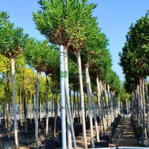 Zakkum pembe çiçekli ağaç formlu,baston zakkum - Nerium oleander pink (APOCYNACEAE)