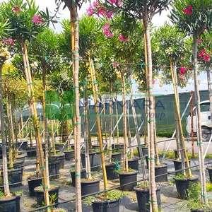 Zakkum pembe çiçekli ağaç formlu,baston zakkum - Nerium oleander pink tige (APOCYNACEAE)