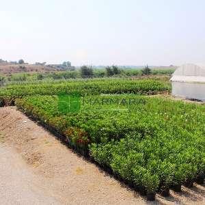 Zakkum kırmızı çiçekli çalı formlu - Nerium Oleander hardy red bush (APOCYNACEAE)