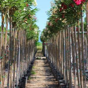 Zakkum kırmızı çiçekli ağaç formlu - Nerium Oleander hardy red standart (APOCYNACEAE)
