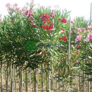 Zakkum kırmızı çiçekli ağaç formlu - Nerium Oleander hardy red tige standart (APOCYNACEAE)