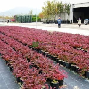 Kırmızı yapraklı berberis - Berberis thunbergii atropurpurea (BERBERIDACEAE)
