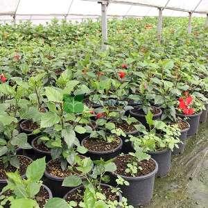 Tropikal hatmi,Çin gülü, japon hatmi gülü çalı formlu - Hibiscus rosa-sinensis bush (MALVACEAE)
