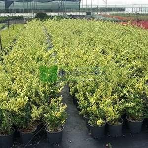 Kurtbağrı sarı-yeşil geniş yapraklı - Ligustrum japonicum