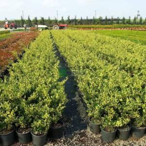 Kurtbağrı sarı-yeşil geniş yapraklı - Ligustrum japonicum texanum variegatum (OLEACEAE)