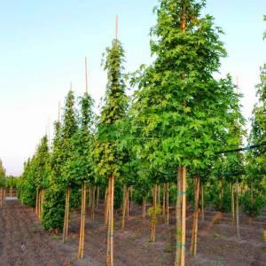 Doğu sığlası, Anadolu Sığlası, Kızaran Amber ağacı,Türk sığlası ağaç formlu - Liquidambar orientalis tige (ALTINGIACEAE)