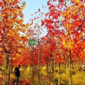 Amerikan küre çiçekli gün sığlası, Kızaran Amber ağacı - Liquidambar styraciflua tige (ALTINGIACEAE)