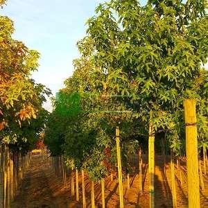 Amerikan küre çiçekli gün sığlası, Kızaran Amber ağacı piramit formlu - Liquidambar styraciflua worplesdon tige (ALTINGIACEAE)