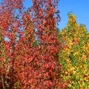 Amerikan küre çiçekli gün sığlası, Kızaran Amber ağacı piramit formlu - Liquidambar styraciflua worplesdon pyramidale (ALTINGIACEAE)