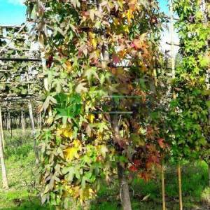 Amerikan küre çiçekli gün sığlası, Kızaran Amber ağacı perde formlu - Liquidambar styraciflua curtain shaped (ALTINGIACEAE)