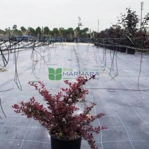 Bodur kırmızı yapraklı berberis - Berberis thunbergii atropurpurea nana (BERBERIDACEAE)