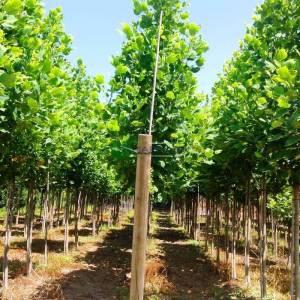Amerikan lalesi sarı yeşil yapraklı, Çan ağacı, Titrek kavcak, Sarı kavak - Liriodendron tulipifera aureomarginatum (MAGNOLIACEAE)