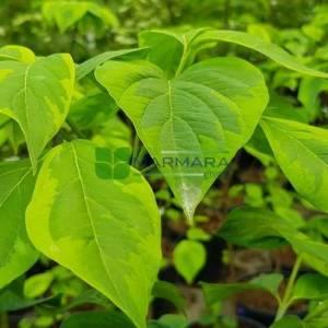 Doğu kızılcık, Çiçekli aşılı sarı yeşil yapraklı amerikan kızılcığı - Cornus florida comanche chief branched (CORNACEAE)