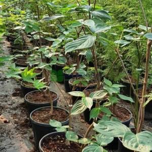 Doğu kızılcık, Çiçekli aşılı amerikan kızılcığı - Cornus florida national branched (CORNACEAE)