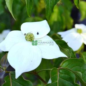 Eastern Dogwood, Flowering Dogwood national branched