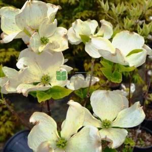 Doğu kızılcık, Çiçekli beyaz yeşil yapraklı aşılı amerikan kızılcığı - Cornus florida cherokee daybreak branched (CORNACEAE)