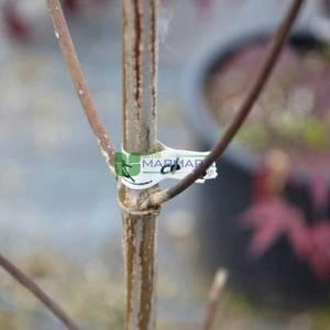 Doğu kızılcık, Beyaz çiçekli aşılı amerikan kızılcığı - Cornus florida cherokee princess branched (CORNACEAE)