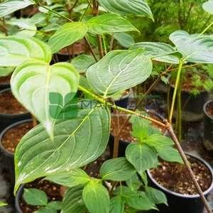 Doğu kızılcık, Çiçekli aşılı amerikan kızılcığı - Cornus florida cold9 branched (CORNACEAE)