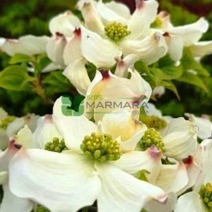Doğu kızılcık, Beyaz çiçekli aşılı amerikan kızılcığı, - Cornus florida cloud nine branched (CORNACEAE)