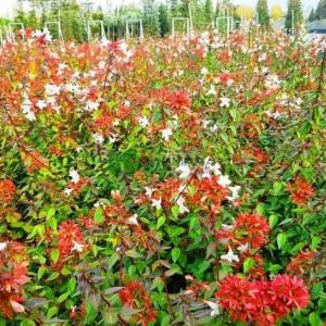 Bodur Güzellik çalısı, abelya, Büyük çiçekli abelya, Büyük Çiçekli Kelebek Çalısı - Abelia grandiflora compacta nana (CAPRIFOLIACEAE)