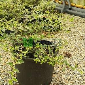 Alacalı Abelia,gümüşi yapraklı abelya,güzellik çalısı - Abelia x grandiflora 'silver anniversary' (CAPRIFOLIACEAE)