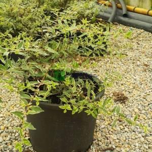 Alacalı Abelia, gümüşi yapraklı abelya,güzellik çalısı, Büyük Çiçekli Kelebek Çalısı - Abelia grandiflora silver anniversary (CAPRIFOLIACEAE)