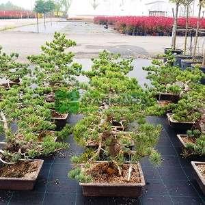 Şekilli japon beyaz çamı, Bonsai çam - Pinus parviflora pentaphylla mini bonsai (PINACEAE)