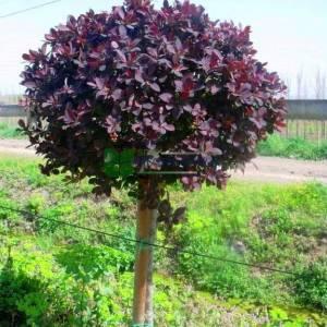 Şekilli yarım tijli kırmızı yapraklı berberis - Berberis thunbergii ottawensis superba (BERBERIDACEA)