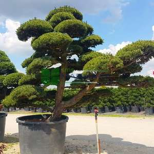 Şekilli japon beyaz çamı, Bonsai çam ekstra - Pinus parviflora pentaphylla extra form (PINACEAE)