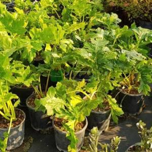 Ayı pençesi, istiridye yaprağı, akantus - Acanthus mollis (ACANTHACEAE)