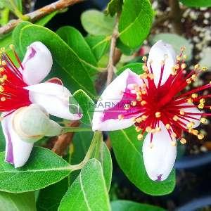 Kaymak ağacı,Kaymak çalısı,Ananas ağacı - Acca (Feijoa) sellowiana (MYRTACEAE)
