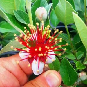 Kaymak ağacı, Kaymak çalısı, Ananas ağacı - Acca (Feijoa) sellowiana (MYRTACEAE)