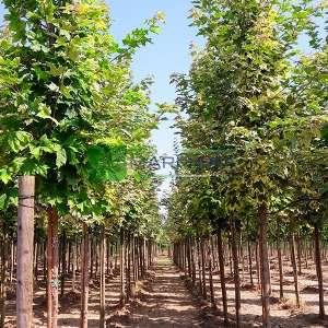 Avrupa Akçaağaç, Norveç Akçaağaç,Sarı-yeşil renkli yapraklı çınar yapraklı akçaağaç - Acer platanoides drummondii (ACERACEA)