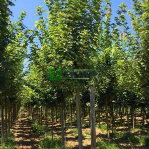 Avrupa Akçaağaç, Norveç Akçaağaç, Sarı-yeşil renkli yapraklı çınar yapraklı gümüşi akçaağaç - Acer platanoides drummondii (ACERACEA)