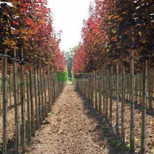 Kırmızı kraliyet akçaağacı - Acer platanoides royal red (ACERACEA)