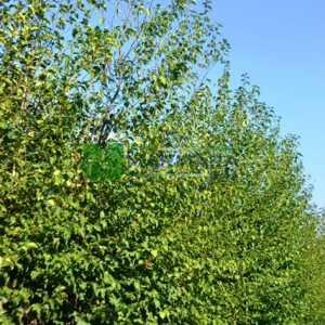 Kızılağaç,İnce yapraklı söğüt, Söğüt yapraklı kızılağaç - Alnus cordata fastigiata (BETULACEAE)