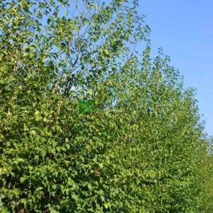 Kızılağaç,İnce yapraklı söğüt, Söğüt yapraklı kızılağaç - Alnus cordata cone (BETULACEAE)