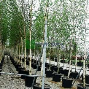 Sarkık beyaz gövdeli huş - Betula alba pendula (BETULACEAE)