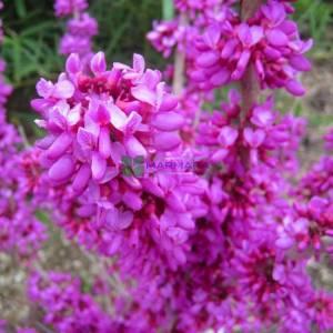 Çin erguvanı, Mor çiçekli erguvan - Cercis chinensis tige (LEGUMINOSAE)