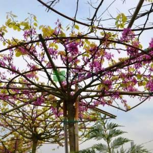 Erguvan ağacı,Erguvan, Gelin yemişi, Yemişen, Zazalak, Kalp yapraklı şemsiye formlu - Cercis siliquastrum tige umbrella/tetto (LEGUMINOSAE)