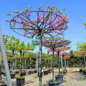 Erguvan ağacı, Erguvan, Gelin yemişi, Yemişen, Zazalak, Kalp yapraklı şemsiye formlu - Cercis siliquastrum tige umbrella/tetto (LEGUMINOSAE)