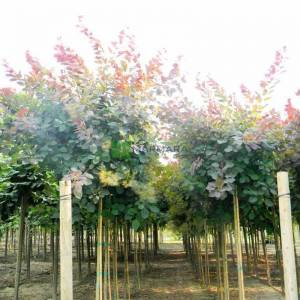 Bulut ağacı kırmızı yapraklı,Duman ağacı,Peruka ağacı, Boyacı sumağı - Cotinus coggygria royal purple tige (ANACARDIACEAE)