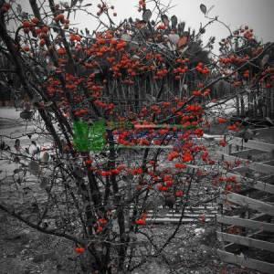 Geniş Yapraklı süs alıç - Crataegus persimilis prunifolia splendes (ROSACEAE)