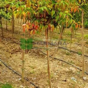 Kızaran avrupa taflanı, Yaprak döken taflan ağaç formlu kısa tijli, baston formlu - Euonymus alatus half tige (CELASTRACEAE)