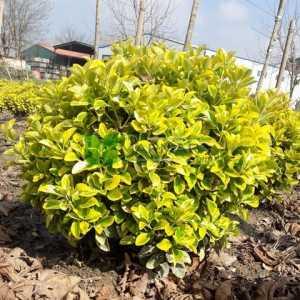 Altuni taflan, Gold taflan top formlu - Euonymus japonica aurea ball shaped (CELASTRACEAE)