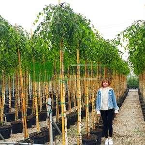 Sarkık Dallı Huş - Betula pendula youngii (BETULACEAE)
