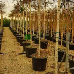 Sarkık Dallı ters aşılı Huş - Betula pendula youngii (BETULACEAE)