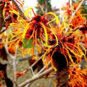 Cadı fındık ağacı - Hamamelis x intermedia jelena (HAMAMELIDACEAE)