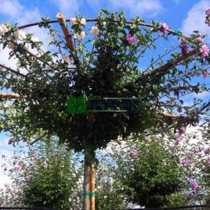 hatmi ağacı lavanta çiçekli aşılı şemsiye formlu - Hibiscus syriacus lavender chiffon umbrella/tetto shaped (MALVACEAE )