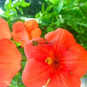 Acem borusu, trombet, boru çiçek - Bignonia (Campsis) grandiflora (BIGNONIACEAE)